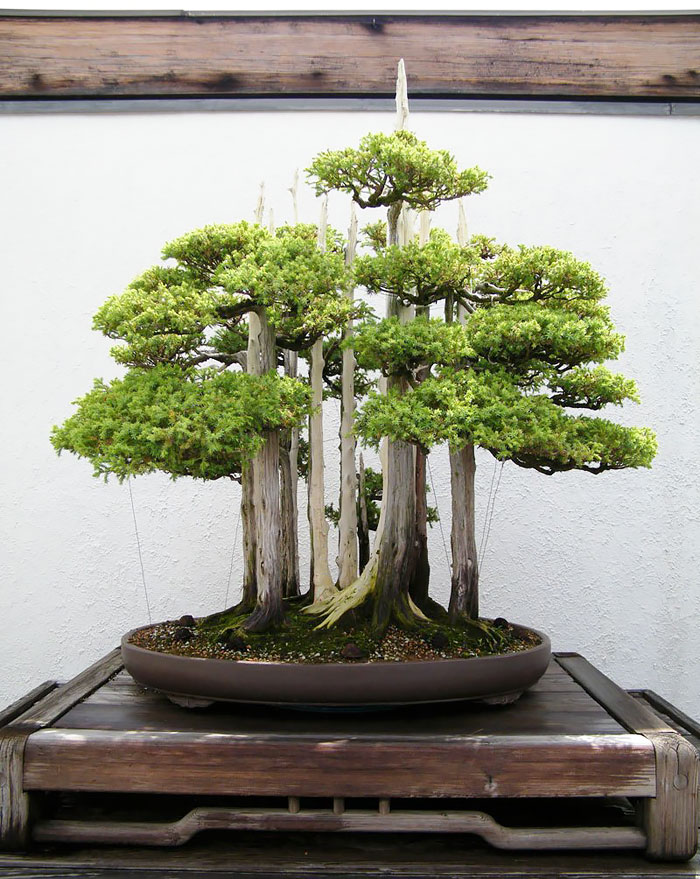 Image result for bonsai trees